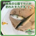 鶴見の公園でサバが釣れたそうです!